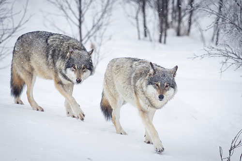 bigstock-Three-Wolves-in-the-Snow-61136987